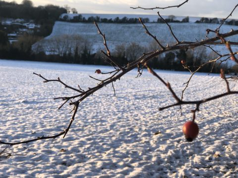 rose hip and snowy field