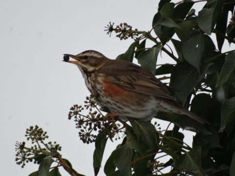 redwing bird with ivy berry