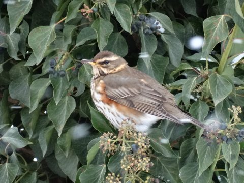 redwing bird on ivy