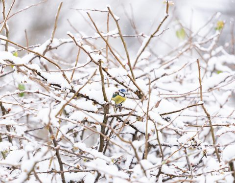 blue tit on snowy branches
