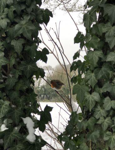 robin in ivy