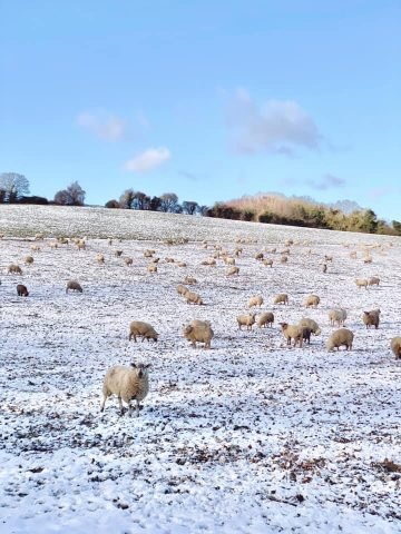 sheep in snowy field with blue sky